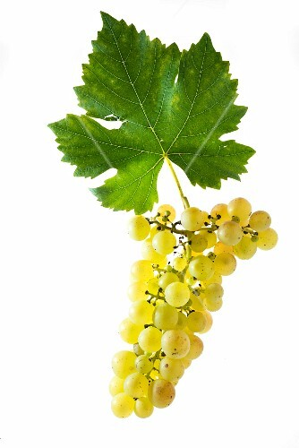 Chasselas, Gutedel grapes with vine leaf
