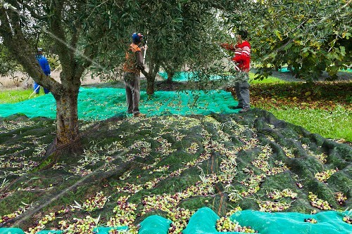 Men harvesting olives