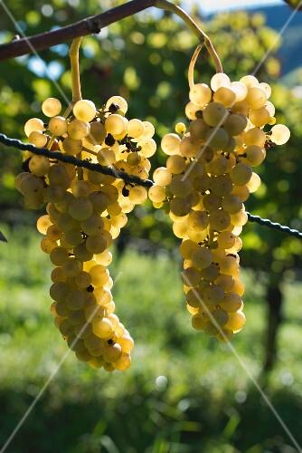 Seyval blanc, white fungi-resistant grapes on a vine
