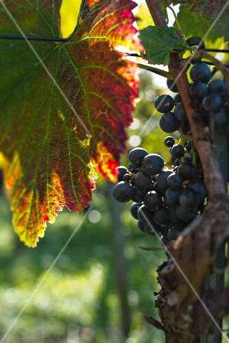 A backlit red vine leaf and pinot noir grapes on a vine