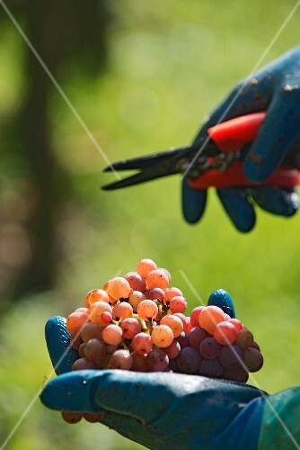 A handful of freshly picked pinot grigio grapes
