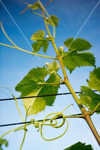 A detailed shot of a young vine