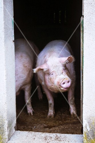 Pigs in stalls