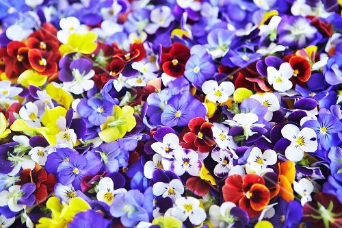 Various different coloured pansies (full frame)