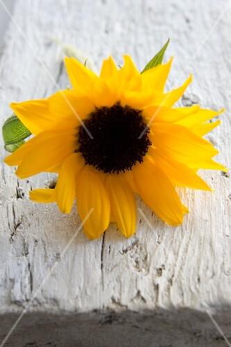 Sunflower on wooden board