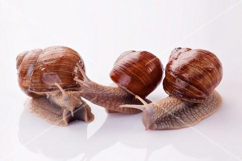 Three Burgundy snails
