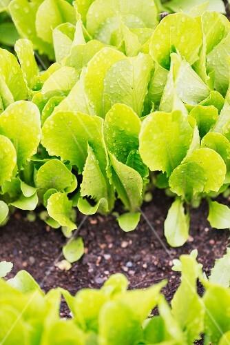 Romaine lettuce growing in the garden