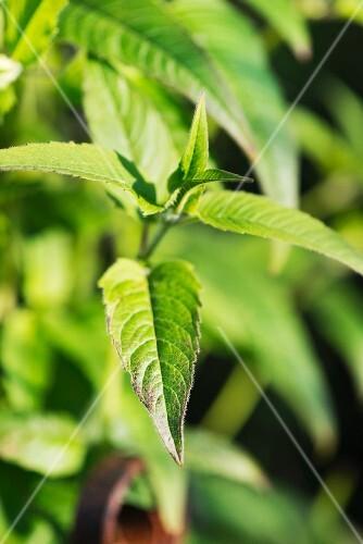 Bergamot growing in a garden
