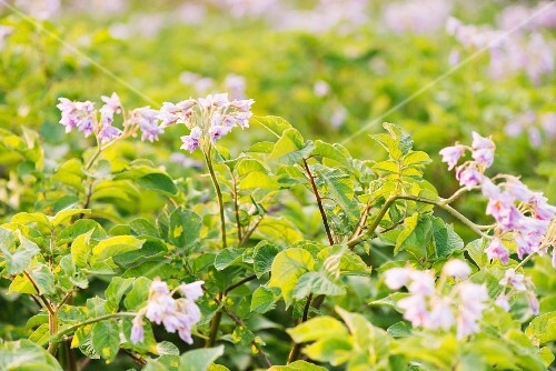 Flowering potato plants growing in a garden
