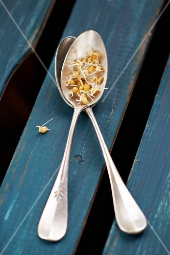Wheat sprouts on two teaspoon