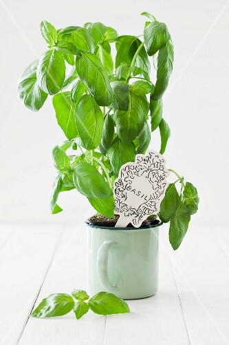 Fresh basil in an enamel cup