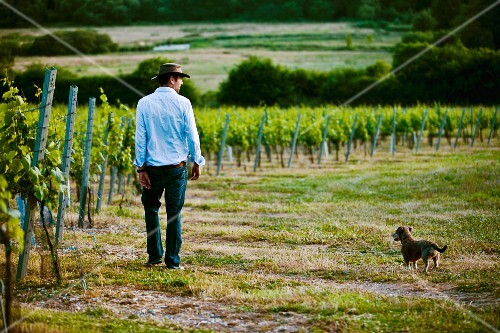 A man and a dog in the Cottonworth vineyards (Hampshire, England)