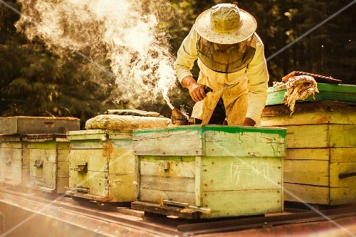 A beekeeper working with the beehives