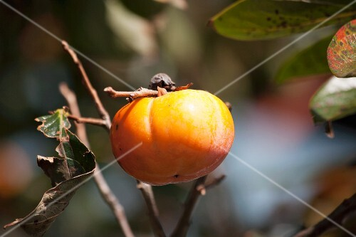 A persimmon on a tree