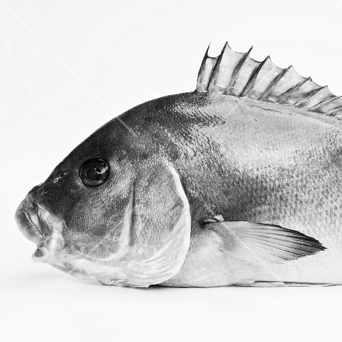 A portrait of a sea bream from the side (black and white image)