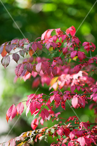 An autumnal bush with red berries