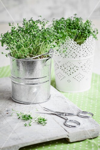 Cress in small buckets next to a pair of scissors