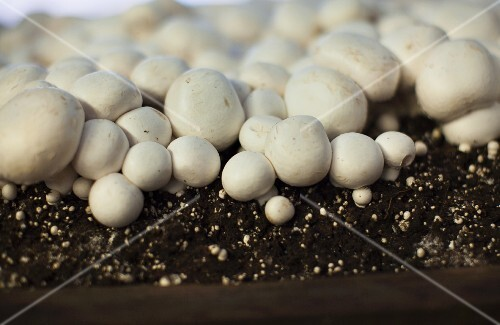 Button mushrooms in the ground
