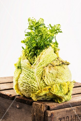 An old flowering Savoy cabbage