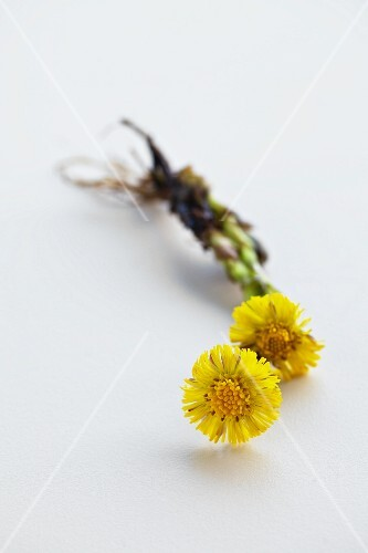 Two coltsfoot flowers (Tussilago Farfara) on a white surface