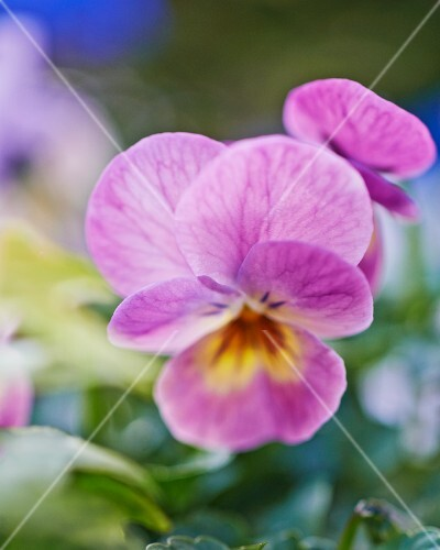 Purple viola flower (close-up)