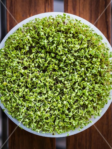 Organic broccoli sprouts in a germination tray
