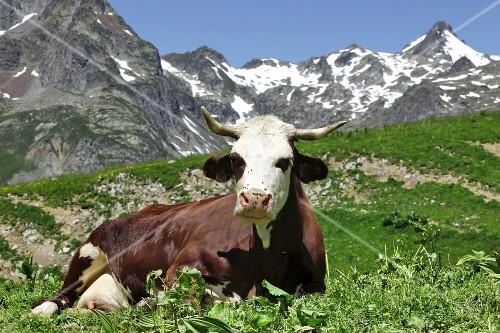A dairy cow sitting in an alpine meadow
