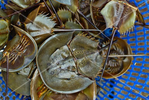 Triops in a plastic sieve at a market in Haiphong, Vietnam