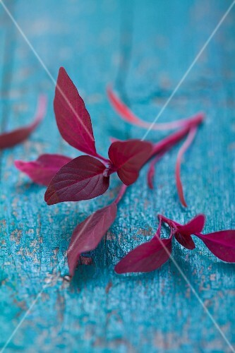 Amaranth leaves on a blue surface