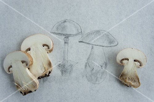 A pencil drawing of mushrooms with fresh mushrooms