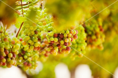 Grapes on a vine in a vineyard