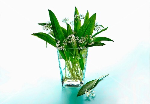 Fresh wild garlic in a glass vase