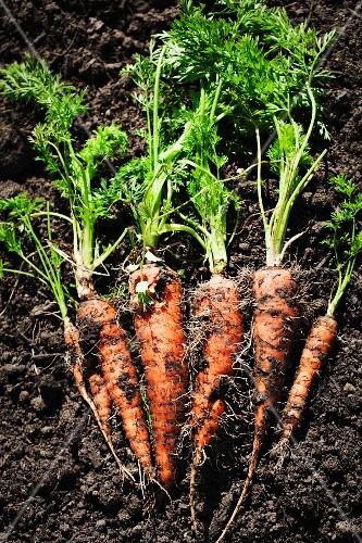 Freshly harvested carrots lying on the ground