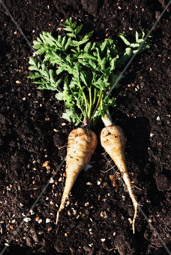 Two freshly harvested parsnips