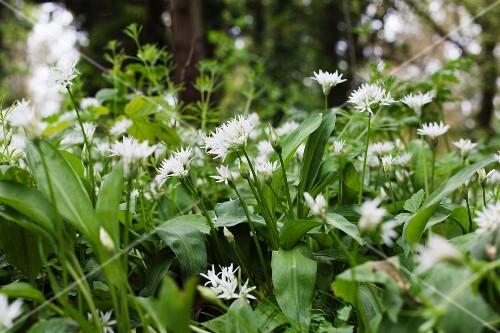 Flowering wild garlic in the open air