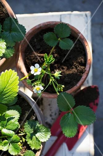 Strawberry plants in pots