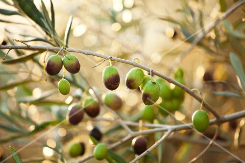 Semi-ripe olives on a sprig
