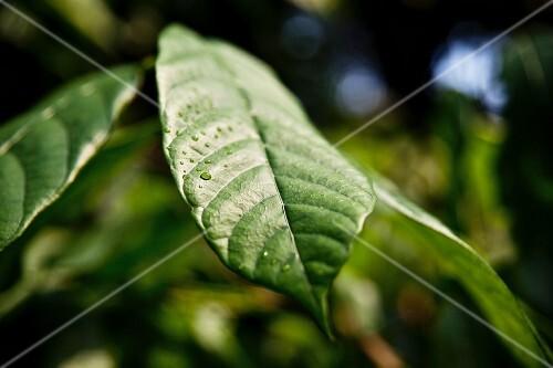 Rain drops on a cocoa leaf