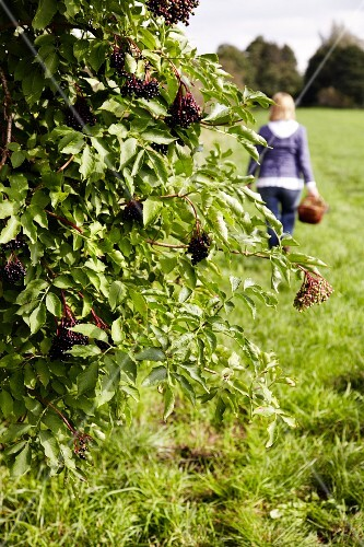 Elderberries on a bush with a woman carrying a basket in the background