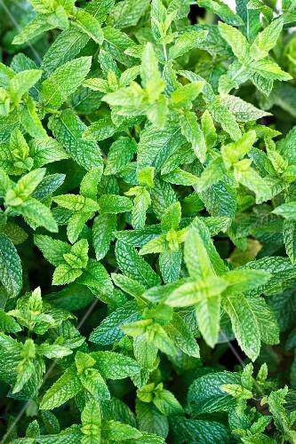 Fresh mint in a garden (full frame)