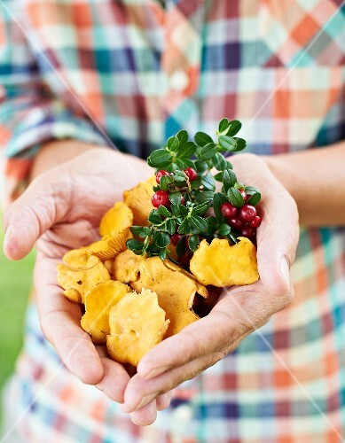 A man holding freshly picked chanterelle mushrooms