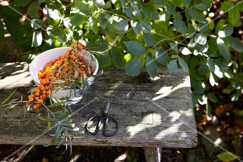 Freshly harvested sea-buckthorn berries on a table outside