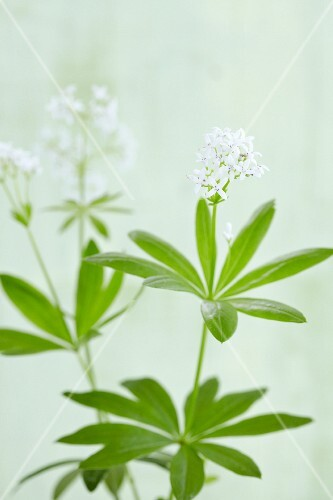 Flowering woodruff