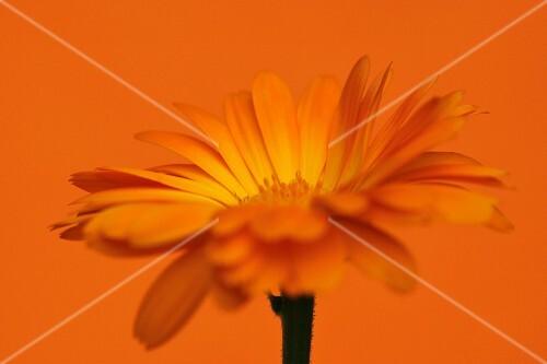A marigold against an orange background