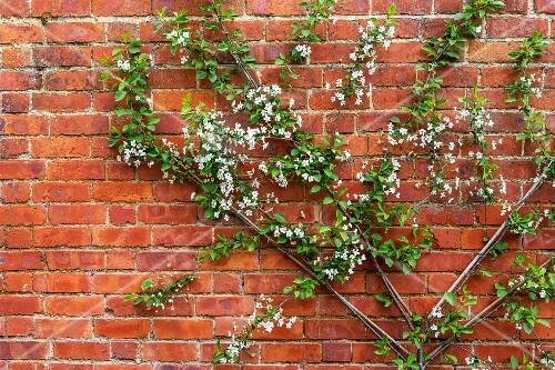 Flowering, fan-trained apple tree against brick wall