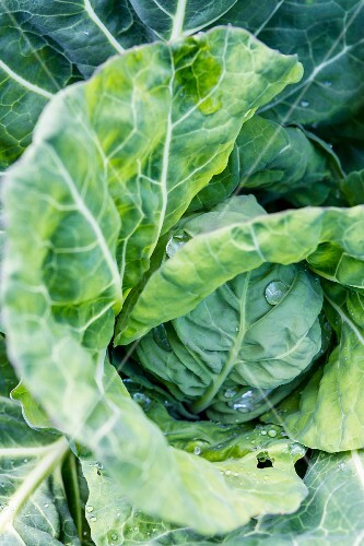A cabbage with dew drops