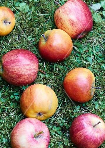Fresh apples in a field