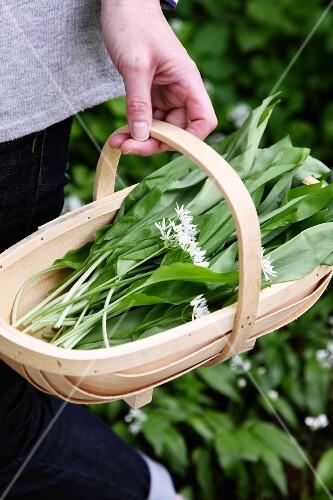 A basket of freshly picked wild garlic