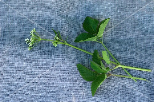 Ground elder on a fabric surface (seen from above)
