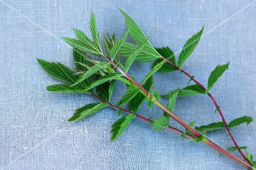 Meadowsweet on a fabric surface